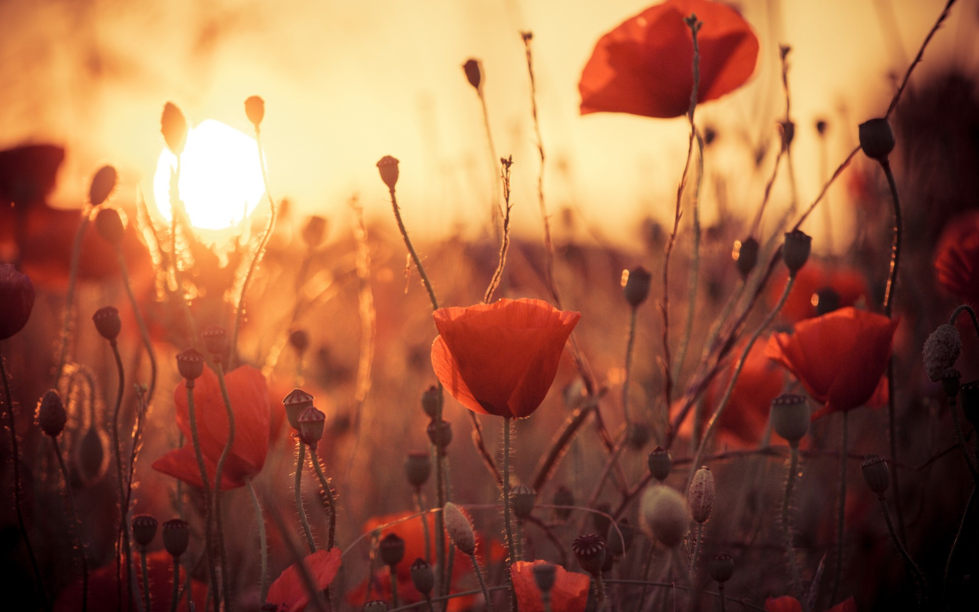 7-themes-stunning-poppy-wallpaper